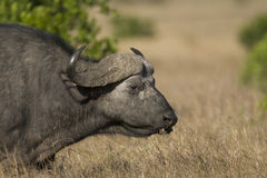 Cape Buffalo in Kenya Royalty Free Stock Photography