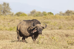 Cape Buffalo in Kenya Royalty Free Stock Image