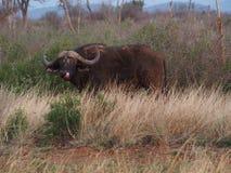 Cape buffalo Royalty Free Stock Photos