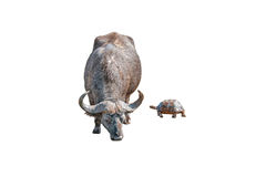Cape Buffalo and Leopard tortoise isolated on white Stock Images