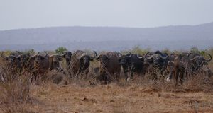 Group of Cape Buffalo in Kruger National Park South Africa standing in forbidding line. Group of standing Cape Buffalo staring and looking Royalty Free Stock Images