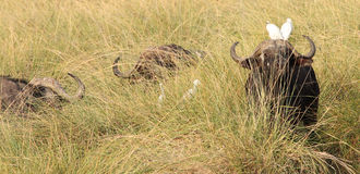 Cape buffalo in long grass with cattle egret on its head Royalty Free Stock Images
