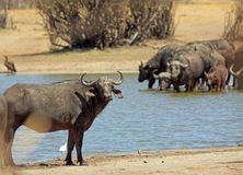 African Cape Buffalo looking towards camera with a herd in the background drinking from a waterhole, Hwange National Park. Cape Buffalo looking dorectly nto royalty free stock image