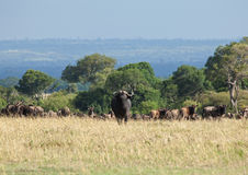 Cape Buffalo on the Masai Mara Royalty Free Stock Images