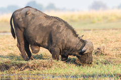 Cape buffalo with massive tumor Royalty Free Stock Image