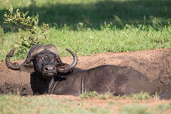 Cape buffalo mud play in mud to cool down protect from insects Royalty Free Stock Images