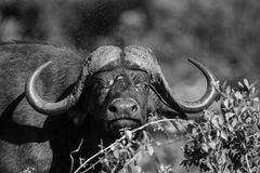 Cape buffalo mud play in mud to cool down protect from insects Royalty Free Stock Photography