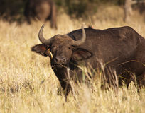 Cape Buffalo With Oxpecker Stock Image