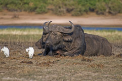 Cape Buffalo pair resting. A pair of Cape Buffalo resting along the Chobe River in Botswana Royalty Free Stock Photography