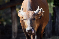 Cape buffalo. Picking his nose with tongue Royalty Free Stock Photos