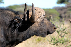 Cape buffalo portait 2 Stock Images