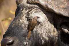 Cape buffalo with red-billed ox-pecker looking for insects. Cape buffalo with a red-billed ox-pecker looking for insects royalty free stock image