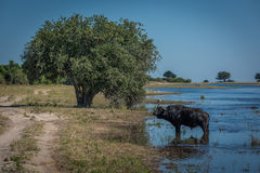 Cape buffalo in river with tree behind Stock Photography