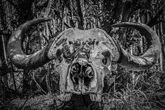 Cape buffalo skull. Skull of a Cape buffalo found in the Mountain Zebra National Park in near Cradock in the Eastern Cape, South Africa Royalty Free Stock Images