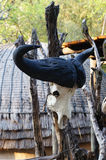 Cape buffalo skull at tribal straw house, South Africa. Royalty Free Stock Photo
