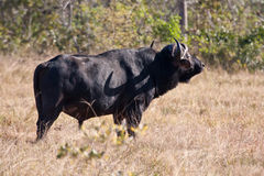 Cape buffalo standing Stock Images