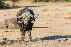 Cape buffalo standing in the open search for possible danger Stock Photo