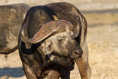 Cape buffalo standing in the open search for possible danger Royalty Free Stock Photography