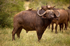 Cape buffalo staring at viewer Royalty Free Stock Photo