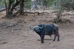 Cape buffalo staring Royalty Free Stock Photography