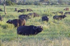 Cape buffalo at sunset in Tsavo National park, Kenya, Africa Stock Photo