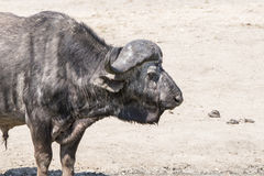 Cape Buffalo (Syncerus caffer) in Africa. Cape Buffalo Standing on Sandy Ground in Africa royalty free stock image