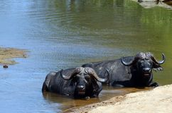 Cape buffalo (Syncerus caffer) Royalty Free Stock Photos