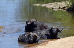 Cape buffalo (Syncerus caffer) Royalty Free Stock Images