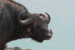 Cape buffalo (Syncerus caffer) Stock Photography