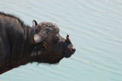 Cape buffalo (Syncerus caffer) Stock Image