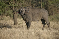 Cape buffalo,  Syncerus caffer caffer Royalty Free Stock Photo