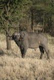 Cape buffalo,  Syncerus caffer caffer Stock Photos