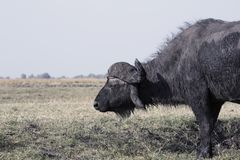 Cape buffalo Syncerus caffer feeds in grass in the Bwabwata Na. Tional Park, Caprivi strip, Namibia royalty free stock photos