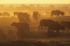 Cape Buffalo (Syncerus Caffer) grazing on savannah at sunset Royalty Free Stock Image
