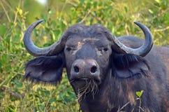 Cape buffalo (Syncerus caffer) Royalty Free Stock Photography