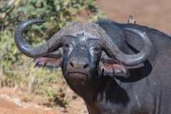 Cape buffalo, Syncerus caffer, looking at the camera. A Cape buffalo, Syncerus caffer, looking at the camera. Mpumalanga Province of South Africa stock photo