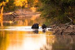 Cape buffalo in water Royalty Free Stock Photography