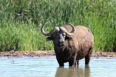 Cape Buffalo in Water Pool Stock Images