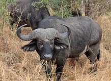 Cape Buffalo wild in Africa Royalty Free Stock Image