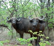 Cape Buffalo wild in Africa. African Buffalo (Syncerus caffer) in the Kruger Park, South Africa stock photos