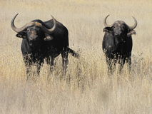 Cape Buffalo in winter veld Royalty Free Stock Photo