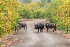 Cape buffaloes, Syncerus caffer, in a gravel road. In the Mpumalanga Province of South Africa royalty free stock image