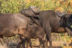 Cape buffaloes, Syncerus caffer. In the Mpumalanga Province of South Africa stock images