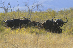 Cape Buffalos Royalty Free Stock Photo