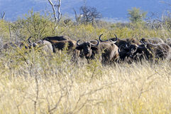 Cape Buffalos Stock Photo