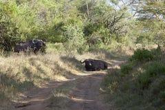Cape Buffalos in Kenya Royalty Free Stock Images