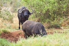 Cape Buffalos at Water Hole. Cape Buffalos at a water hole in Tsavo East National Park in Kenya Stock Photo