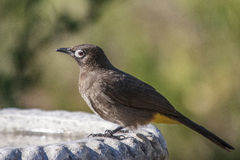 Cape Bulbul. Drinking at a water trough Stock Photos
