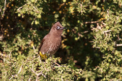 Cape Bulbul bird Stock Images