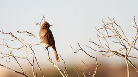 Cape Bulbul bird Royalty Free Stock Images